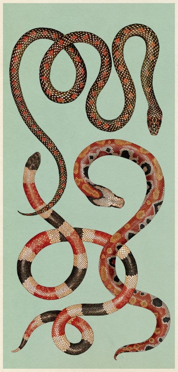 katie-scott: Snakes. From Animalium. Which has just been shortlisted for the National Book Awards, Children's Book of the Year!