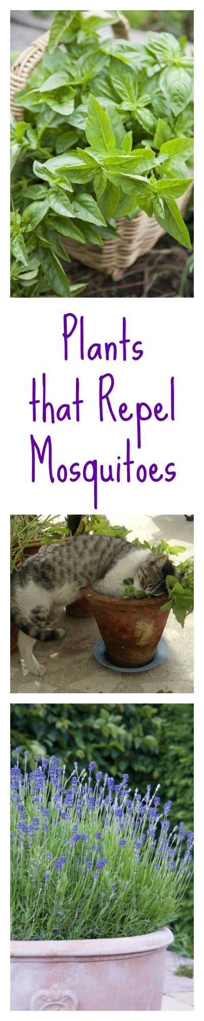 There are a lot of mosquitos where I live - near the Mississippi River! Forget the bug zapper—you can keep mosquitos away with garden plants like lavender and basil. No more pesky bugs!