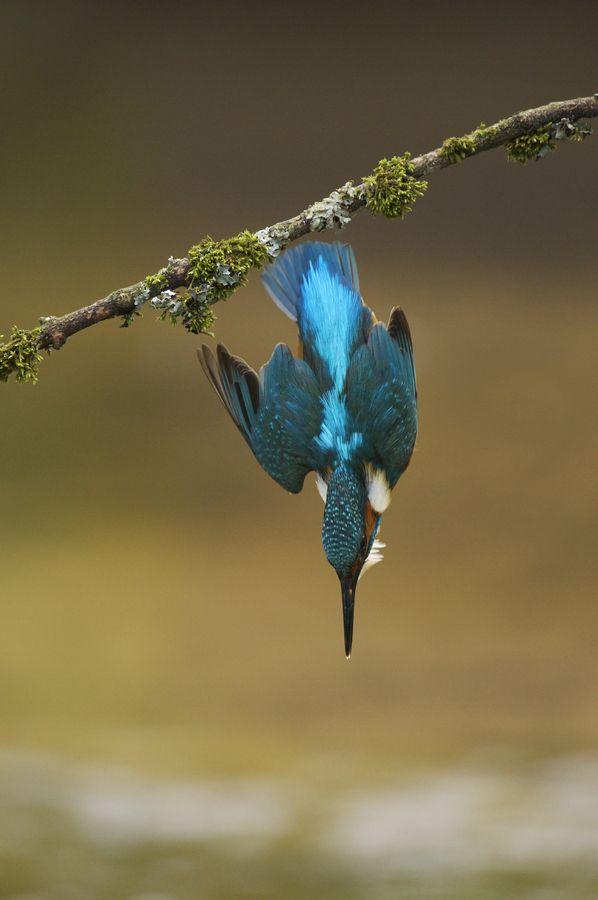 Common Kingfisher By Sylwia Domaradzka