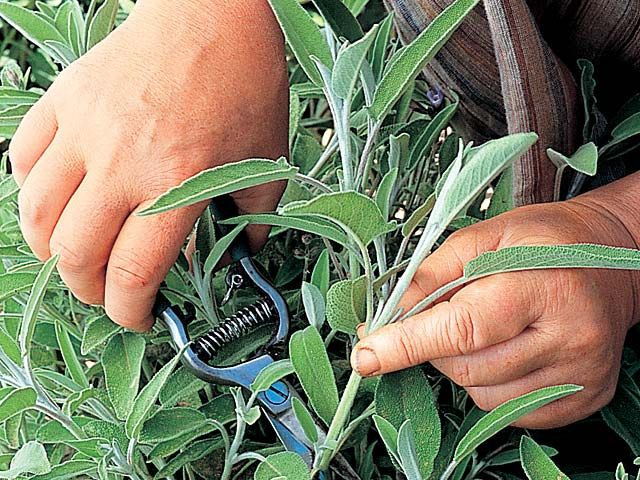 La rouille est la maladie cryptogamique la plus connue sur la pomme de terre. Il suffit de pulvériser une macération de sauge officinale pour prévenir ce cha...