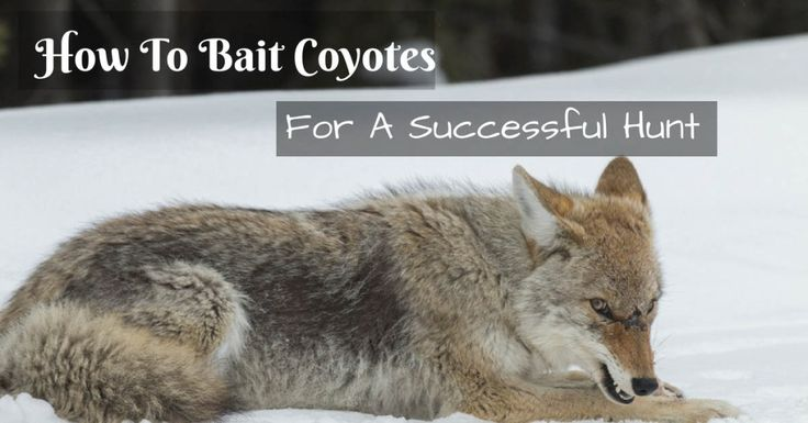 How to bait coyotes for a successful hunt bait coyotes