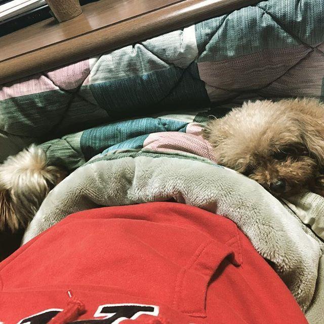 ' いつかの二人♡ いや…三人💜 ' わかりますか❓ ' おねえちゃんかホームコタツで寝ています😴 そして、おねえちゃんの横にはそれぞれに COCOA🐩とりん🐶が寝ています💤💤💤 ' #気持ちよさそう  #羨ましいな #多頭飼い  #幸せの時間 #昼寝 #犬 #愛犬#大好き#わんこ #犬バカ部  #犬のいる暮らし  #わんこなしでは生きて行けません会  #happytime #happylife #poodle #toypoodle #yorkie #yorkshireterrier #dog#doglovers #lovemydog #petstgram#cutedog #dogsofinstgram #instadog#dogstagram