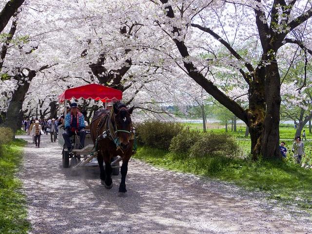 北上展勝地 (Kitakami Tensho-chi Park) #Japan #Spring #Park