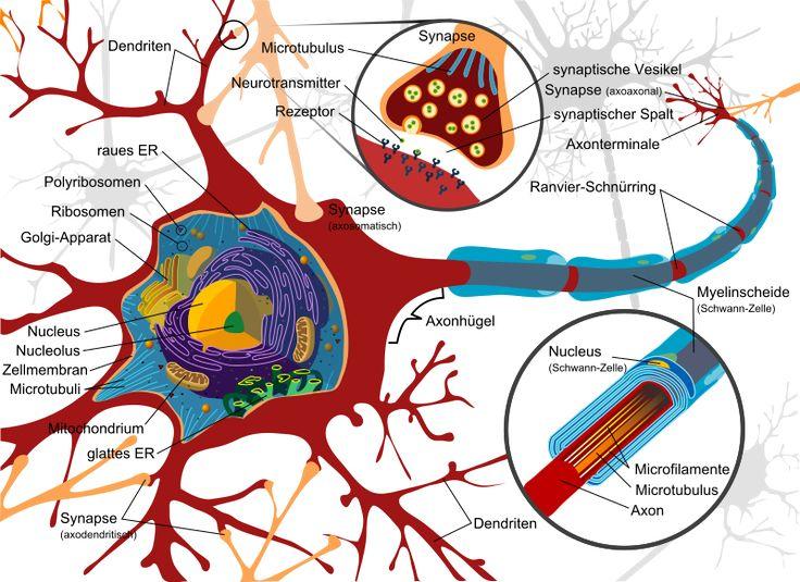 Typischer Aufbau eines Neurons. Das Schema zeigt die Ultrastruktur einer Wirbeltiernervenzelle, von der zumindest das Axon in der Peripherie liegt. Im zentralen Nervensystem wird die Myelinscheide durch Oligodendrozyten gebildet.