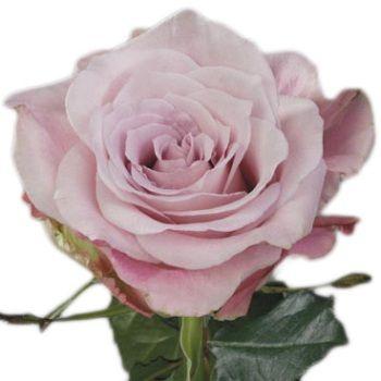 faith rose | Flowers | Pinterest