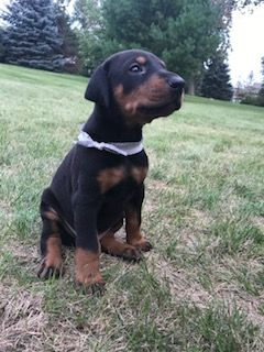 Litter of 4 Doberman Pinscher puppies for sale in COKATO, MN. ADN-44853 on PuppyFinder.com Gender: Male. Age: 7 Weeks Old