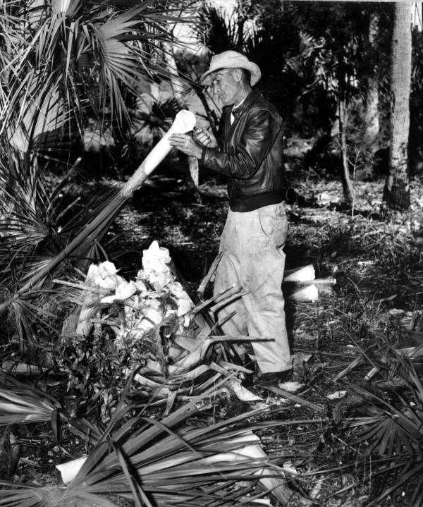 A man harvests swamp cabbage - Homosassa Springs, Florida