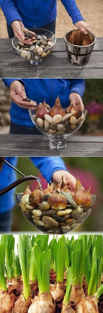 How to Grow flower Bulbs in water...mine are about 10 inches tall and blooming spring time eventhough it is raining outside.
