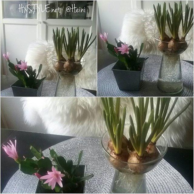 KOTI&SISUSTUS. KUKAT Ihana KEVÄT aika...TRENDIKÄSTÄ Kukkien sipulit vedessä.. MINI kukat, Kaktus kukkii..Ihanaa, Nautin&TYKKÄÄN. SINÄ? Nähdään HYMY ❤☺