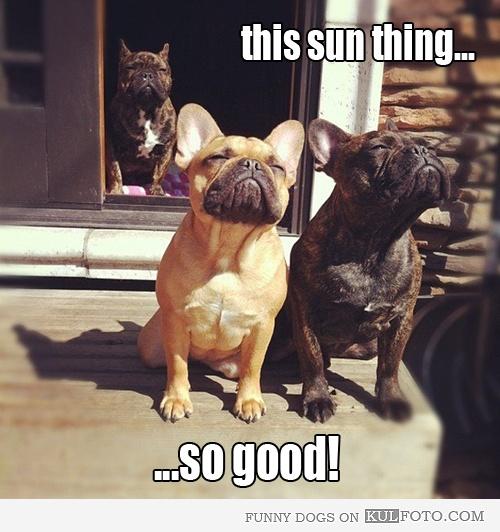 This sun thing...: Animals, French Bulldogs, Pets, Funny, Frenchbulldog, Friend, Sun
