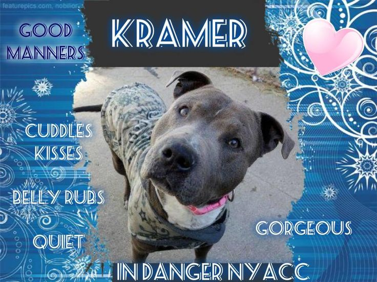 SAFE!!!..**On KILL LIST** KRAMER – A1099627**TO BE KILLED 1/8/17, PLZ save this beautiful boys life right now!! PLZ QUICKLY visit: nycdogs.urgentpodr.org