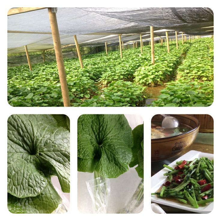 Fresh Wasabi Petioles and. Leaves