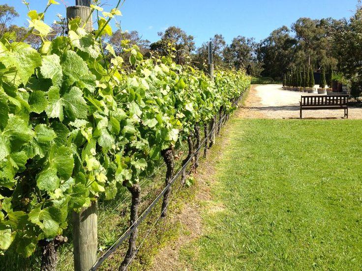 Vines growing at Crittenden Estate