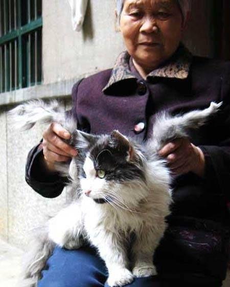 """Gato de Xianyang, provincia de Shaanxi en China de 2007 Hay varias teorías del por que los gatos nacen con estos apéndices parecidos a alas, la primera es por que se encuentran en un medio ambiente contaminado, que crea mutaciones en los gatitos en las primeras etapas del embarazo de la gata. La segunda es que en el vientre de la gata, algunos gatos se fusionan en etapas tempranas del embarazo, y estas """"alas"""" son las patas de los gatos a medio terminar, las cuales se les incrustan en la…"""
