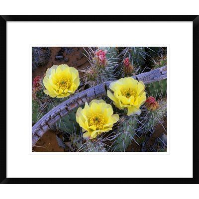 Global Gallery Opuntia Cactus Blooming, North America by Tim Fitzharris Framed Photographic Print Size: