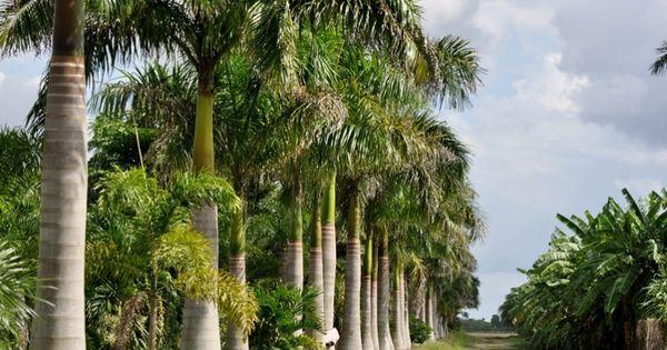 redlands oak trees | Florida Royal Palm Tree | Palm Tree Farm in the Miami Redlands ...