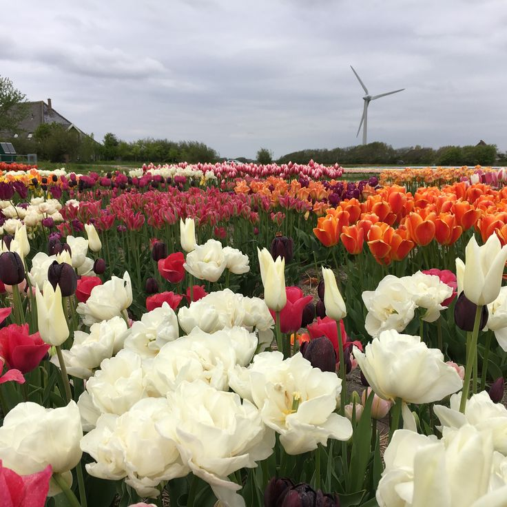 Pilot fields with tulips for export, especially for America.