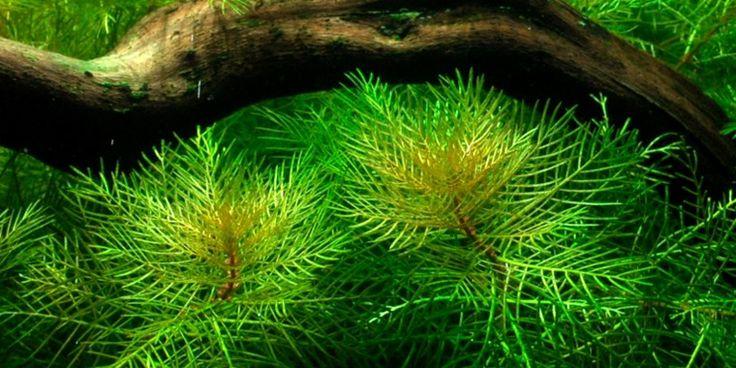 Myriophyllum mattogrossense - Tropica Aquarium Plants