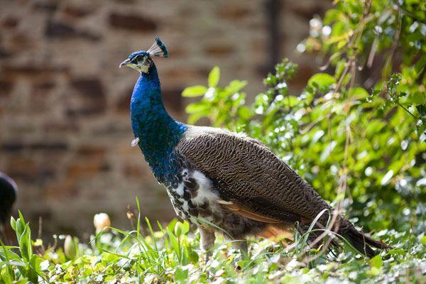 Peacock at Marlfield House #peacock #peacocks #marlfieldhouse