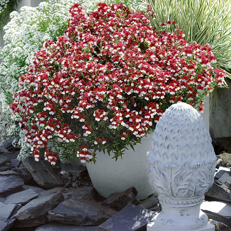 Sunsatia Nemesias are great, this one is called 'Cherry on Ice'