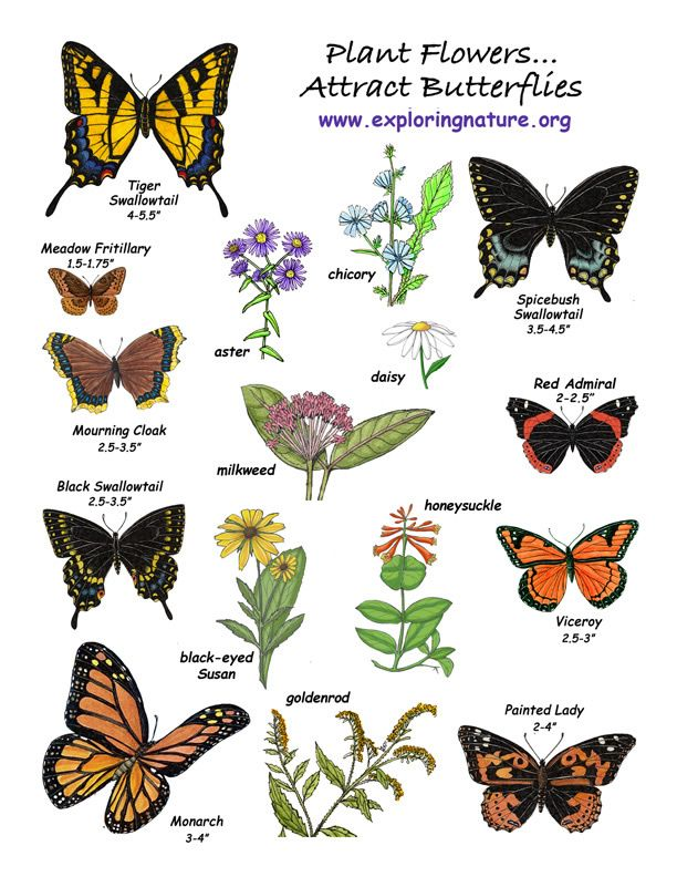 Some examples of flowers that butterflies like are cosmos, Queen Anne's lace, zinnia, butterfly weed, coneflowers, New England asters, spearmint, milkweed, yarrow, phlox, ironweed, thistles, verbena, goldenrod, Shasta daisy, coreopsis, black-eyed Susan, yarrow, sedum, sunflowers, and daylilies. These will also make beautiful gardens!
