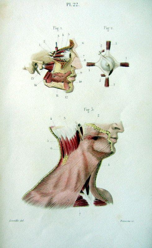 Système musculaire. Pl. 22. Dessin : Jean-Baptiste Léveillé. Gravure : Davesne. 1852. Muscles faciaux, myologie de cou, oeil et paupière.