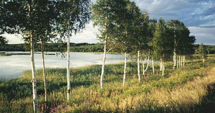 Como plantar uma árvore bétula ou vidoeiro de rio. A bétula ou vidoeiro de rio é uma árvore que contribui para o planejamento de um quintal ou parque. Ela é bonita para paisagens devido à sua casca com texturas. Ela tende a ser resistente, suportando geadas e ventos, desenvolvendo-se em solo úmido às margens dos rios. A única coisa que a bétula não tolera é sombra. Para plantá-la, existem apenas ...