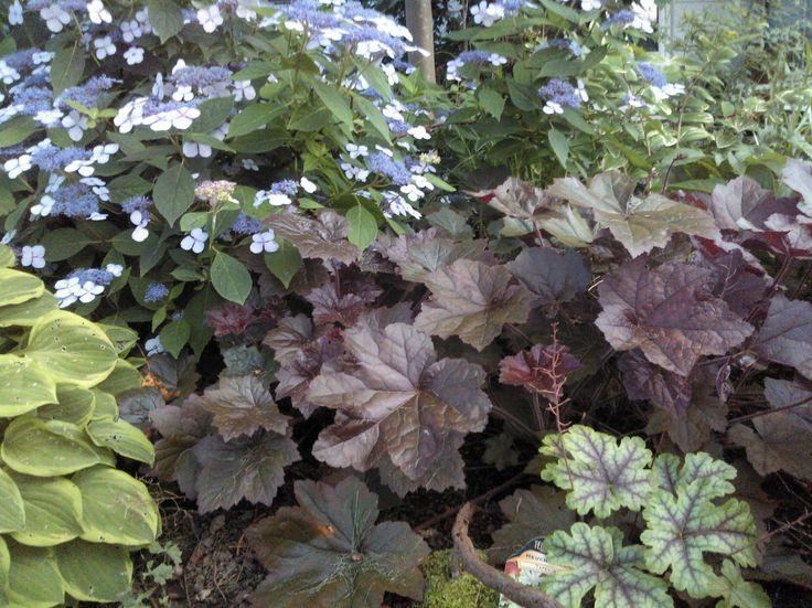 Nice association in dryish shade: Hydrangea serrata Blue Ice, hosta Golden Tiara, heuchera villosa purple form (easy from seed)  and heucherella Royal Tapestry.