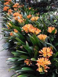 Clivia - for shady garden areas