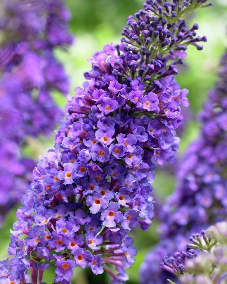Sommerflieder 'Empire Blue' • Buddleja davidii 'Empire Blue' • Pflanzen & Blumen • 99Roots.com