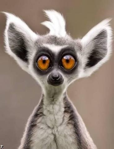LOL...: Real Life, Animal Faces, Funny Animal Pictures, Creature,  Lemurs Catta, Funny Faces, Big Eye, Madagascar Cat,  Ring-Tail Lemurs