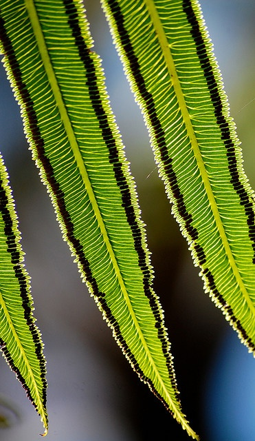 "Nature 's Fractals ~Angiopteris evecta ""Giant Fern"". Fronds can grow to 4 or 5 metres in length."