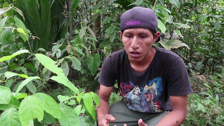 La Selva Amazonienne! 5.La plante d'Ayahuasca  La planta de Ayahuasca es alucinógena, es un droga pero es muy respetada por su uso espiritual. La planta enseña a los que son listos para recibirla. Se toma en un ritual con una pregunta en mente y después solo hay que dejarse llevar.    En Huatari por ejemplo, el ritual de l'ayahuasca permite a los niños pasar de ser a niño a ser joven.   http://qoo.ly/kpwk2