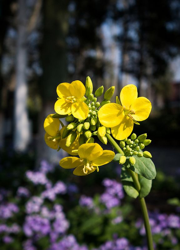 Yellow Rape Flower