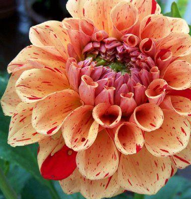 Rembrandt DahliaBeautiful Flower, Flames Flower, Flower Nature, Flower Dahlias, Southern Gardens, Flower Gardens, Colors Schemes, Rembrandt Dahlias, Flower Perennials