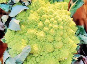 Broccoli Romanesco Heading Edible Flowersbroccolicompostcauliflowercold