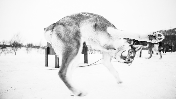 Alaskan husky waiting to be buckled up for a run.