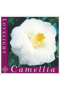 Camellia Lovelight