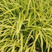 Golden Monkey Grass for sale buy Liriope muscari 'Peedee Ingot'