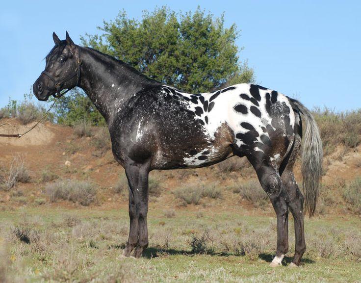 Hunters Appaloosas Hi Definition Horse Man S Most