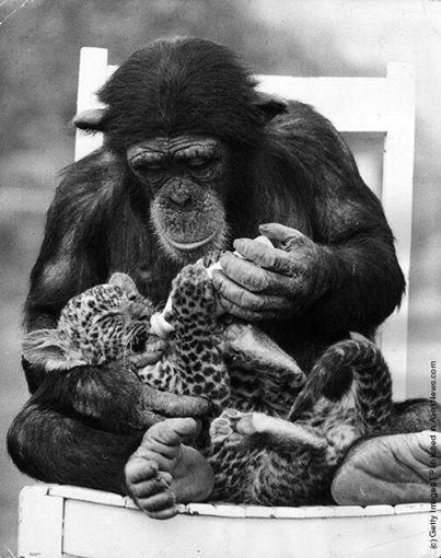 historyinpics42:A chimpanzee feeding a leopard cub at Southam Park Zoo - United Kingdom - 1971 Click Here to Follow HISTORY IN PICS