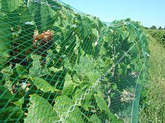 Продажи виноградных лоз, виноградные лозы поставки, фруктовые деревья, ревень и ягодные кустарники - на двоих одна виноградники Фредонии, Нью-Йорк 14063