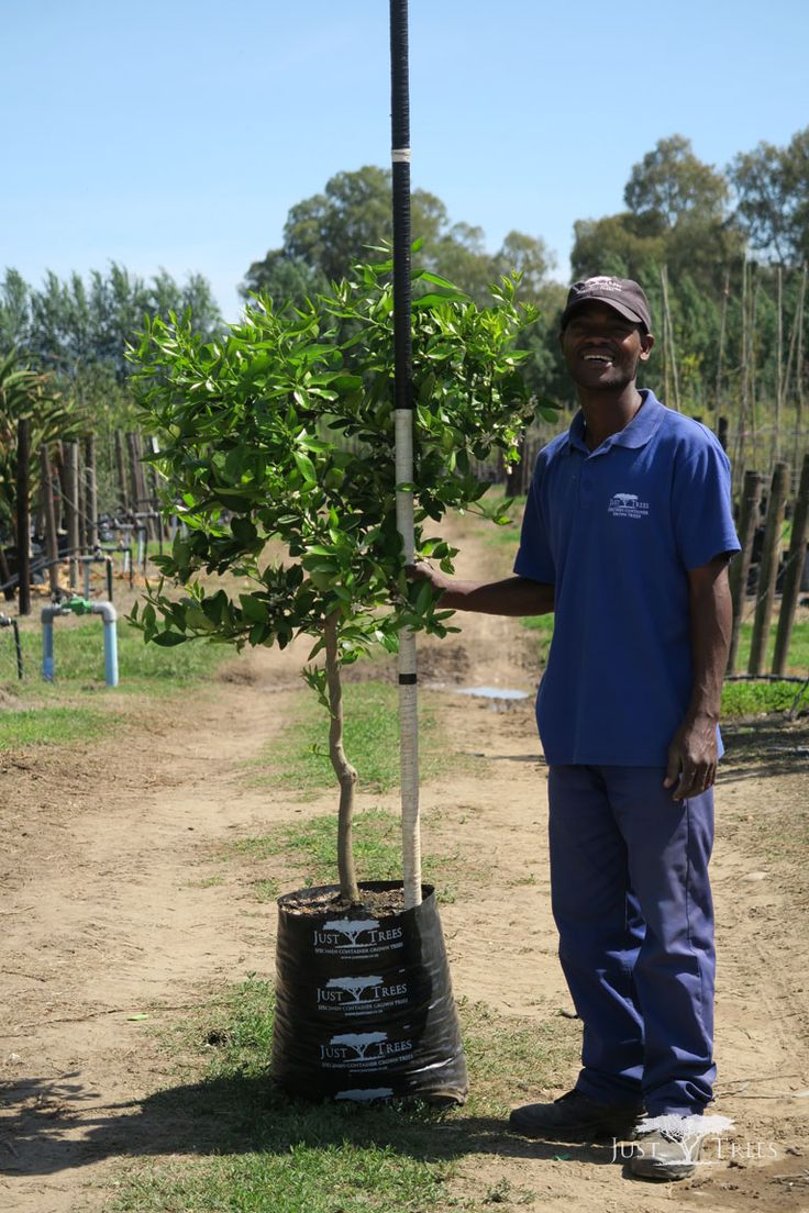 40L Tahiti Lime. One the most commonly cultivated lime species for commercial use, the Tahiti Lime also has fragrant and spicy aroma. The medium to large tree is almost thornless and is an attractive addition to any landscape.
