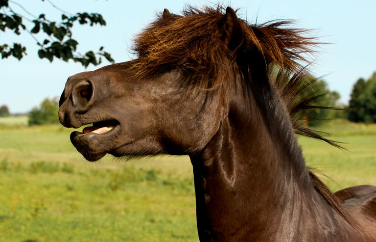 Photographer Pernille Westh | Icelandic horse. Stallion · Get my 7 FREE basic photography tips - you need to know! http://pw5383.wixsite.com/free-photo-tips