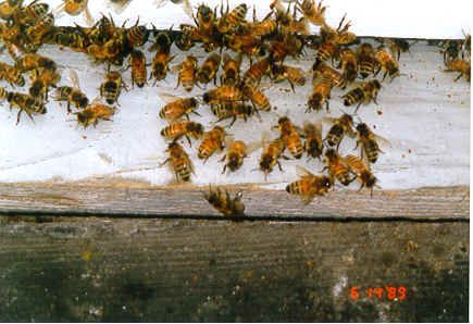 Bees Tate's Honey Farm