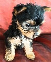 Yorkie puppies for Sale in South Africa