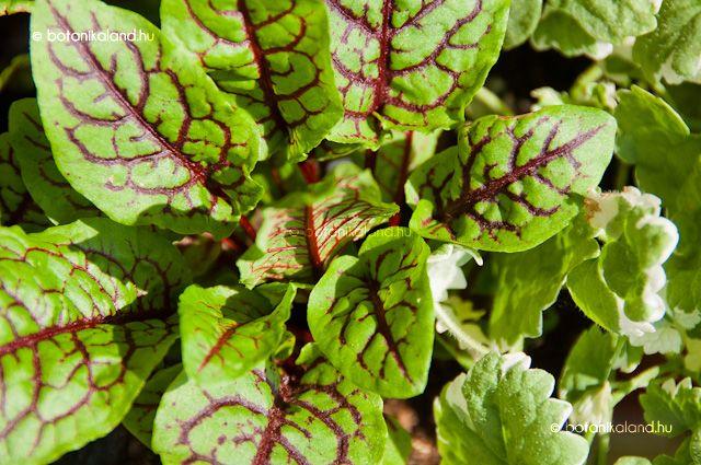 Vérsóska (Rumex Sanguineus ssp. Sanguineus) gondozása, szaporítása (Erdei Sóska)