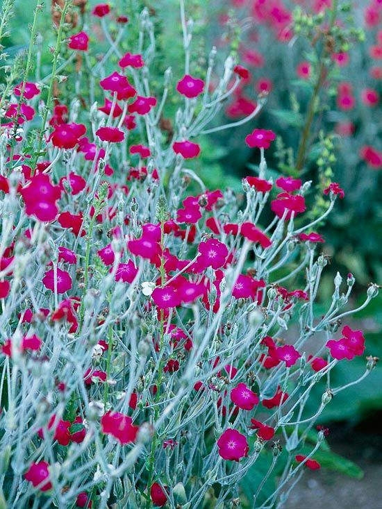 Rose Campion  Rose campion is unforgettable in full bloom because of its abundant hot-pink flowers. But before it puts on its floral show -- and after the flowers fade -- its silvery-gray leaves are ornamental on their own.  Note: Rose campion can self-seed abundantly.   Name: Lychnis coronaria
