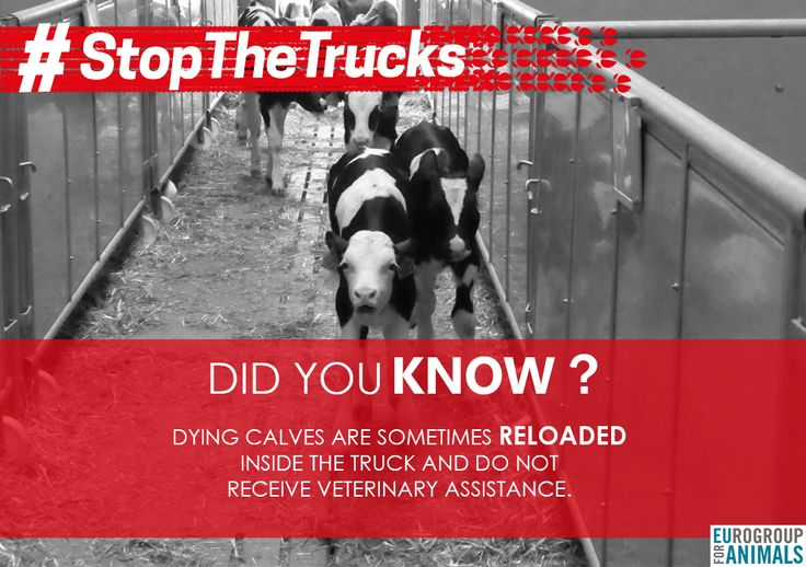 #StopTheTrucks #DidYouKnow Dying calves are sometimes reloaded inside the truck and do not receive veterinary assistance. European Commission European Parliament   Take action now : www.stopthetrucks.eu/take-action
