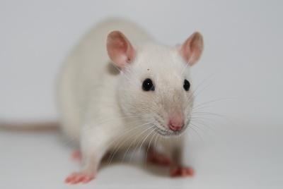 White rat with black eyes - photo#25